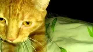 Кот мурлыкает и мнёт подушку