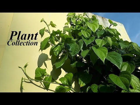 Growing Betel Leaf Plant at Home - Plant Collection