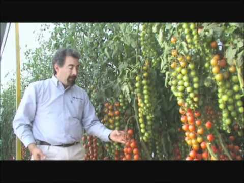 Agroscience tomate cherry youtube - Planter tomates cerises en pot ...