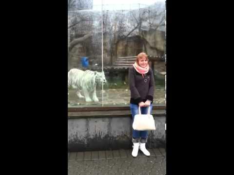 Белый тигр за стеклом может прыгнуть