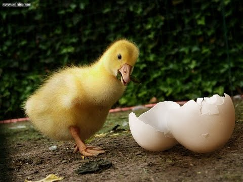 Инкубация гусиных утиных яиц. Проблемы и ошибки инкубации. Яйца инкубационные и правильный режим