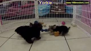 Yorkie, Puppies, For, Sale, In, Anchorage, Alaska,AK, Fairbanks, Juneau, Eagle River