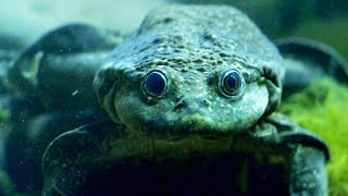 This Titicaca Water Frog Breathes Oxygen Through its Skin