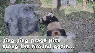 Jing Jing Drags Nico Along the Ground Again...| iPanda