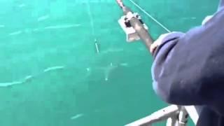 Video Orca assassina ruba il pesce di un pescatore download MP3, 3GP, MP4, WEBM, AVI, FLV Agustus 2017