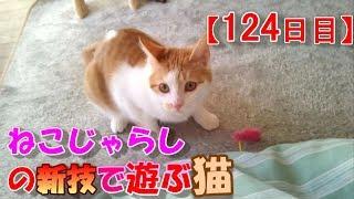 【124日目】ねこじゃらしの新技で遊ぶ猫【かわいい・面白い】~The growth record of my cute cat, Nike day 124 thumbnail