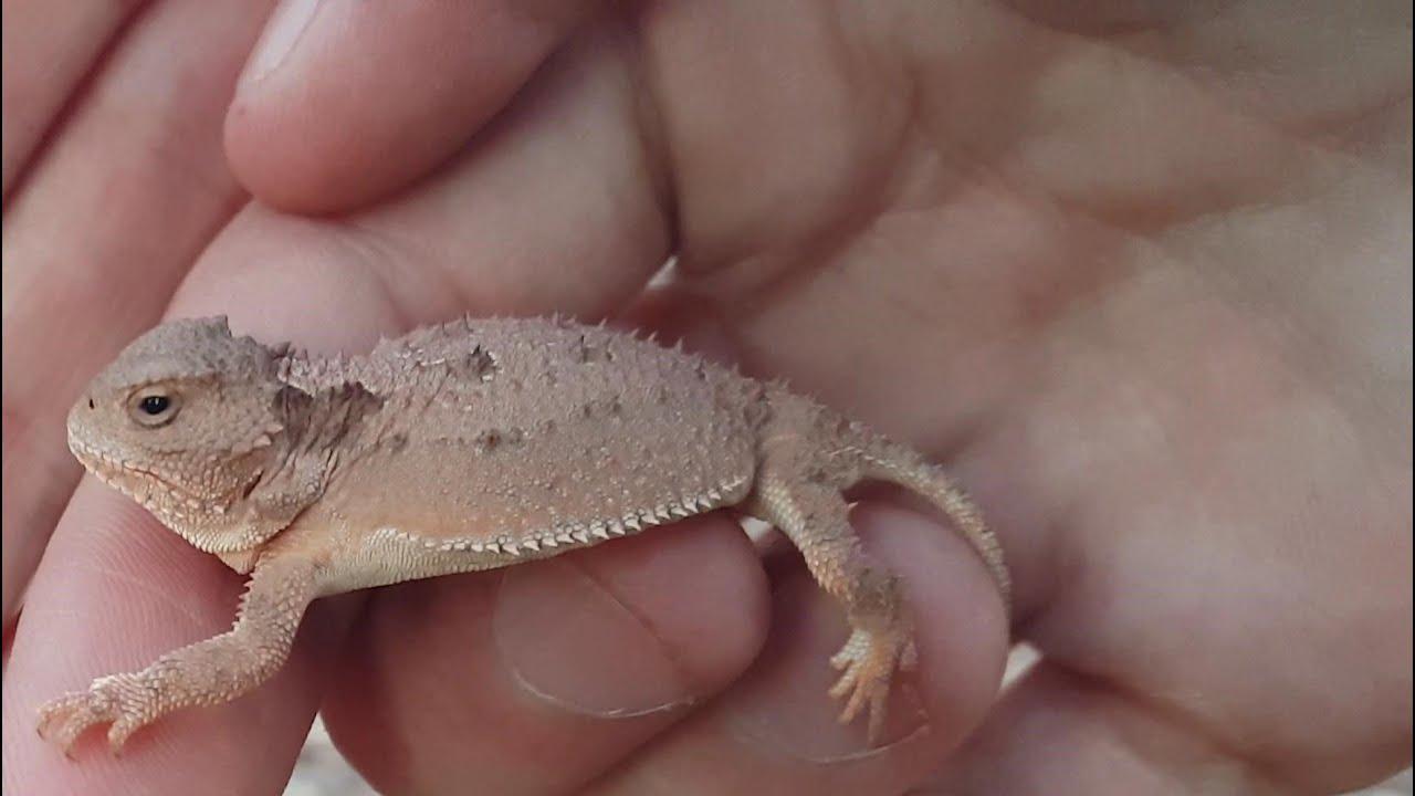 4k cc baby greater short horned lizard catching pet reptiles