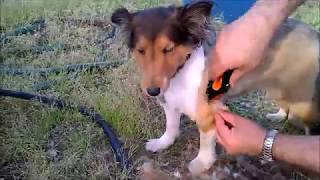 How to shear a dog - Come tosare un cane, Shetland Sheepdog Music b...