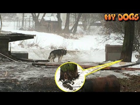 After 15 Years On A Chain In The Worst Conditions, Husky Finally Learns How To Be A Real Dog