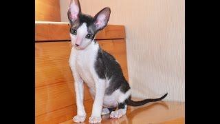 Корниш Рекс / Котёнок - мальчик , черный биколор  (2 месяца)