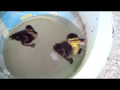 Mama Duck Gets The Help She Needs To Save Her Family