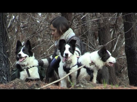 Scampering dogs in Chile help restore burnt forests