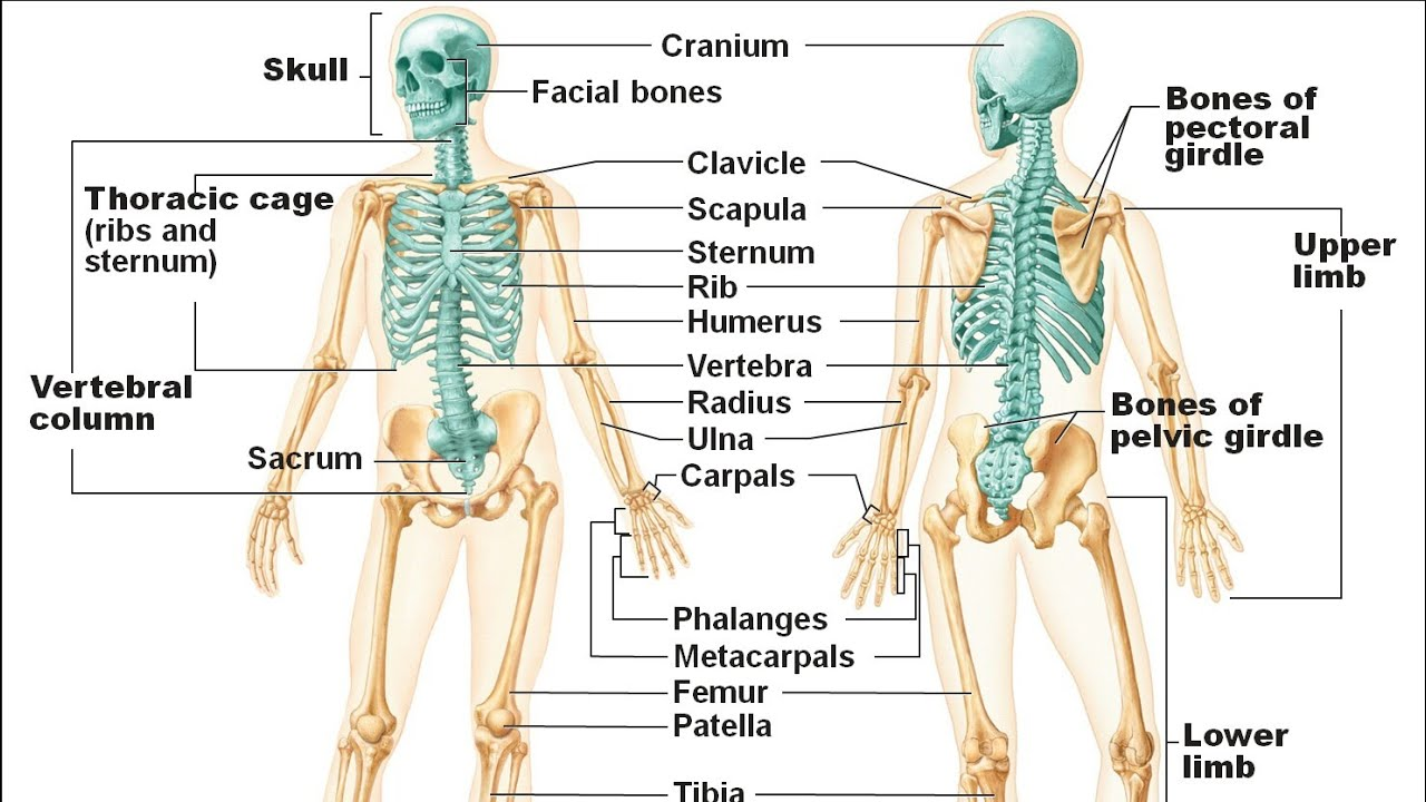General Anatomy Of Skeleton And Bone By Dr Sadiq Ali At Pihs