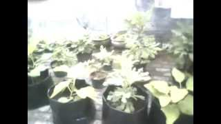 Kebun Buah Tin / TABULAMPOT Pohon Tin