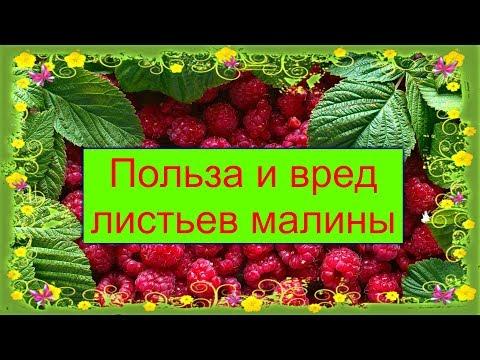 Полезные свойства листьев малины