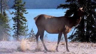 an elk at west thumb geyser basin