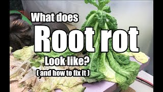 What does root rot look like, and how do I fix it?