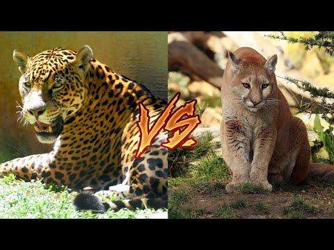 Ягуар против пумы. Jaguar versus cougar