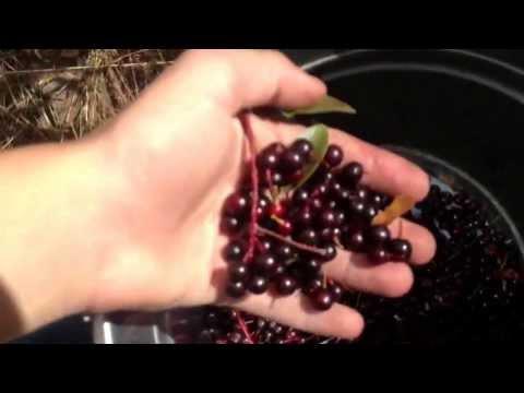 Wild choke cherry syrup