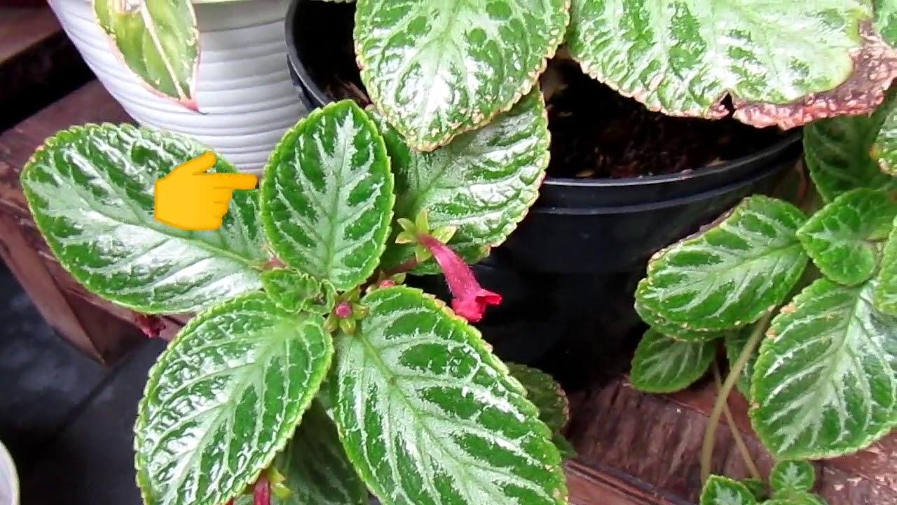 Tips Berkebun Houseplant Tanaman Hias Gantung Episcia Cupreata Daunbeludru Propagate Youtube