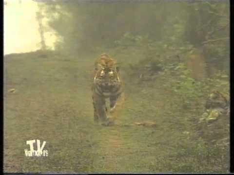 Tiger charges at Camera