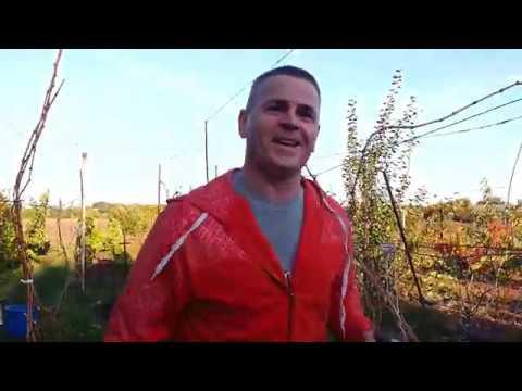 Удобрение винограда,навозный микс.