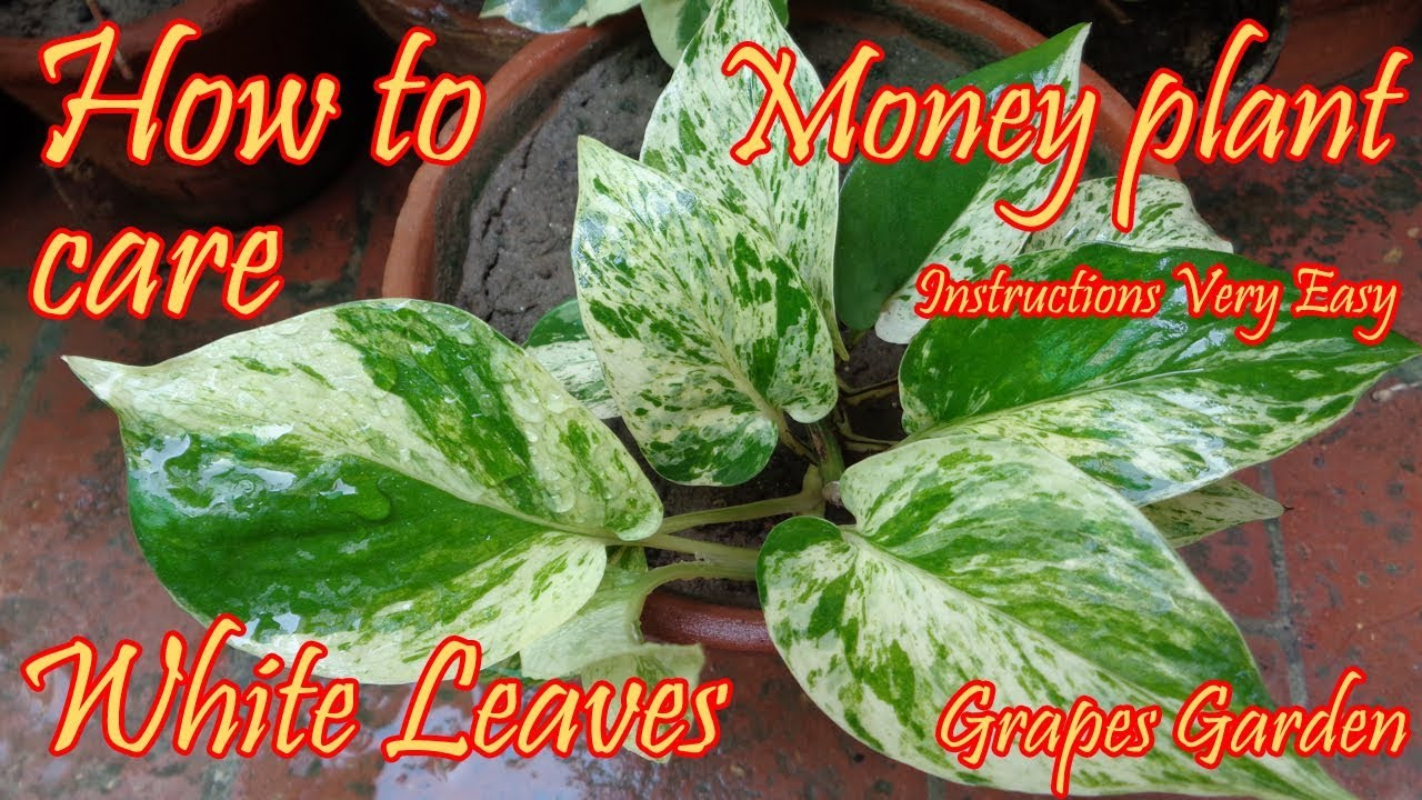 How To Care Of Marble Queen Money Plant White Leaves Money Plant
