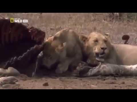 HD Lion Documentary Nat Geo Wildlife Animals 2018 CC,BY BBC