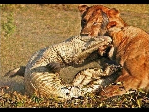 Lion vs Buffalo vs Crocodile fight to death new video 2014