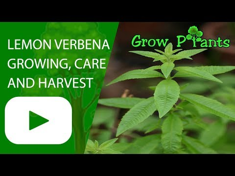 Lemon verbena - growing, care and harvest