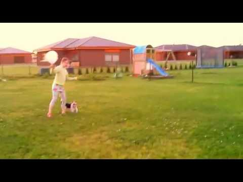 Jack Russell Terrier playing balloon
