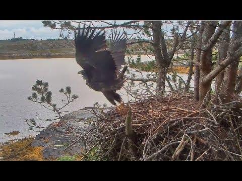 Smola Norway Eagle Nest Cam ~ SOLO FLEDGES!! ~ 80 Days Old 7.12.17