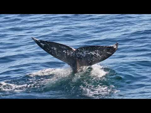 Gray Whale Watching in Newport Beach