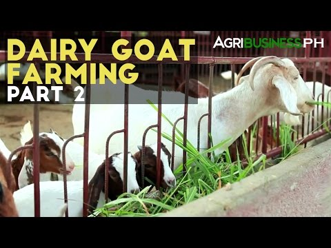 Dairy Goat Farming Part 2 : Dairy Goat Farming Management | Agribusiness Philippines
