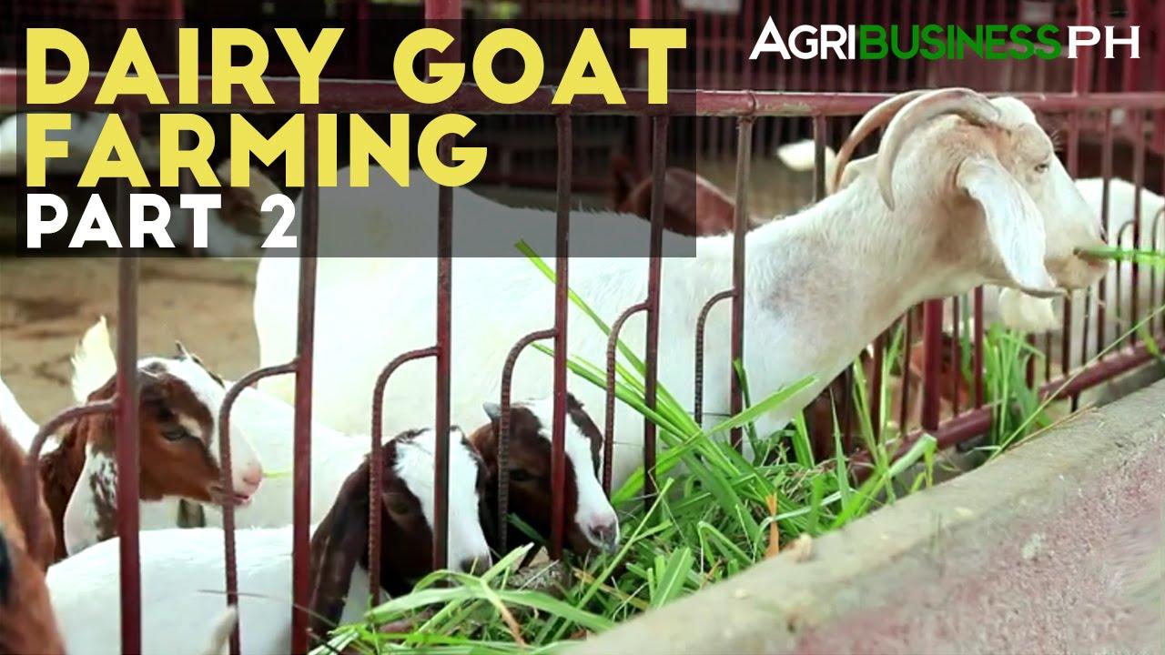 Dairy Goat Farming Part 2 : Dairy Goat Farming Management