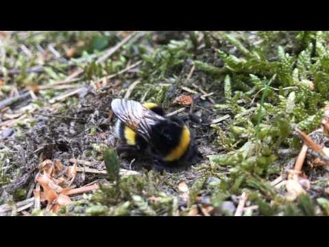 Erdhummel beim Nestbau! (Bombus terrestris) | 5 Minuten pure Entspannung!