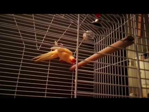 Kleine stapjes tam maken Kakariki vogel