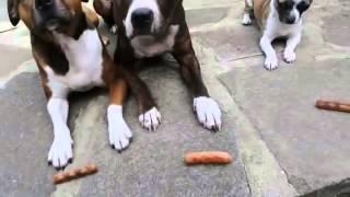 Cachorro ladrão de salsichas