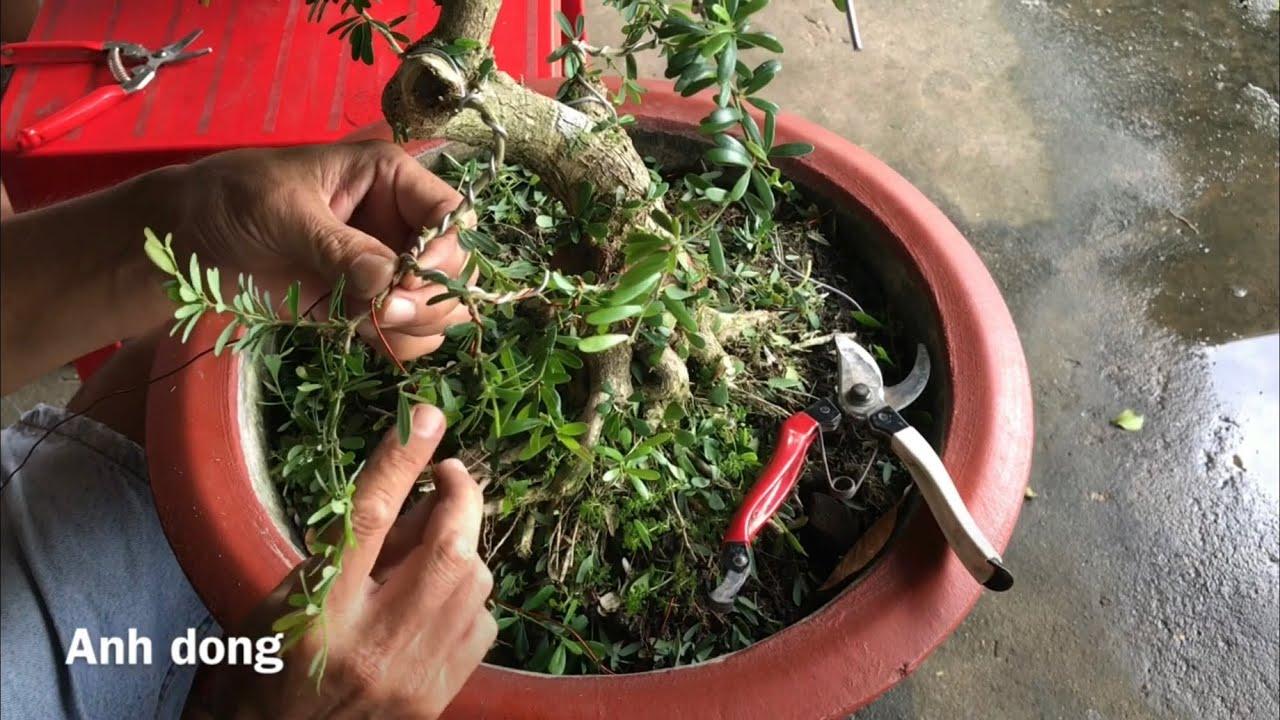 Uốn cây linh sam dáng  trực lắc