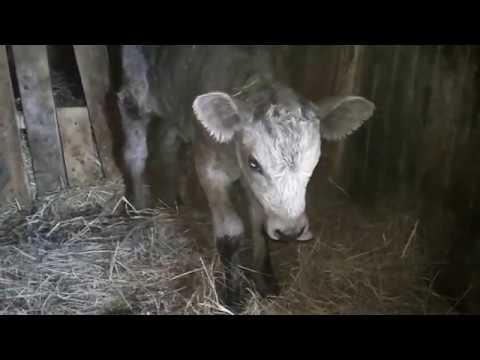 Можно ли оставить телку на корову от первотелки?!!!!