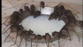 اسرع واروع طريقة لصيد الفئران دفعة واحدة