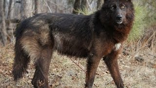 #1140. Волки, койоты и шакалы (В мире животных)