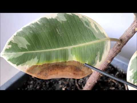 У фикуса желтеют и опадают листья.  Как активизировать рост новых листьев
