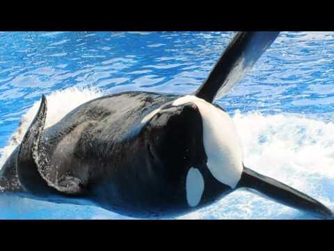 Tilikum Rejoins SeaWorld Show