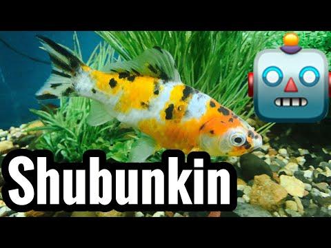 Shubunkin Goldfish Care - Tank Size & Mates