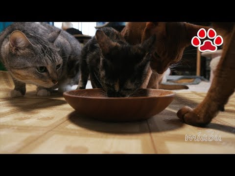 Difference of the cats taking supplements or not.[Cats room Miaou]サプリを食べる猫と食べない猫