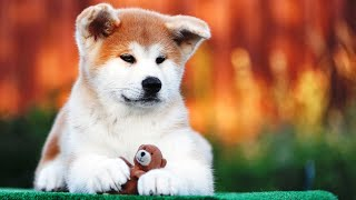 Akita Inu  MOST LOYAL DOG