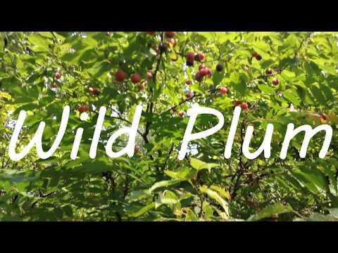 Wild Plum – Identifying & Foraging American Plum (Prunus americana)
