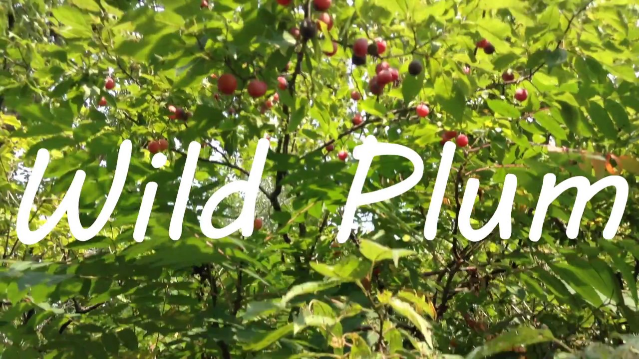 Image result for wild plum tree