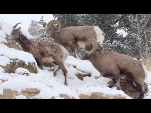 Yellowstone National Park bighorn sheep December 14th, 2015